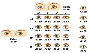 An allele is a part of a gene that can be expressed as a phenotype. There  are dominant alleles, and recessive alleles. A dominant allele is one that  is ...